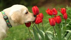 Tulips 12588