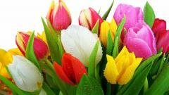 Tulips 12590