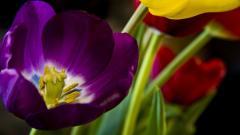 Tulips 12594