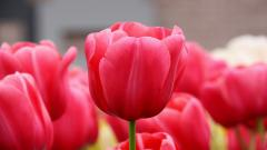 Tulips 12595