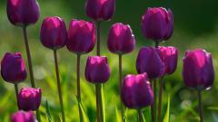 Tulips 12598