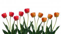 Tulips 12605