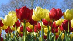 Tulips 12607