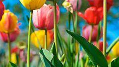 Tulips 12608