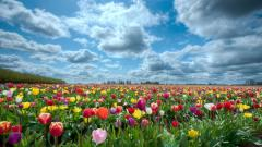 Tulips 12609