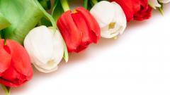 Tulips 12612