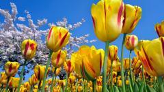 Tulips 12613
