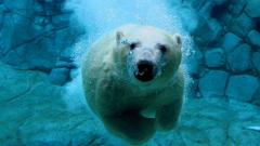 Underwater Bear Wallpaper 7092