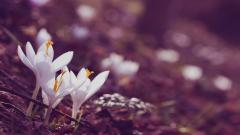 White Crocuses 28932
