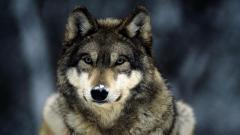 Wolf Wallpaper 16307