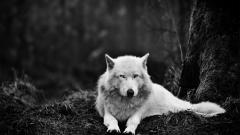 Wolf Wallpaper 16309