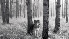 Wolf Wallpaper 16310