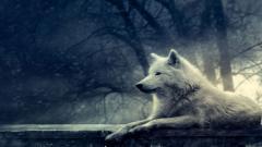 Wolf Wallpaper 16316