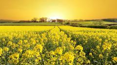 Yellow 27748