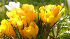 Yellow Crocuses 28918