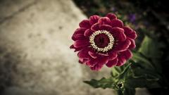 Zinnia Wallpaper 20146