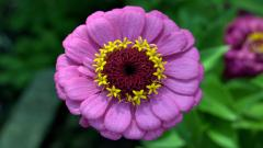 Zinnia Wallpaper 20151