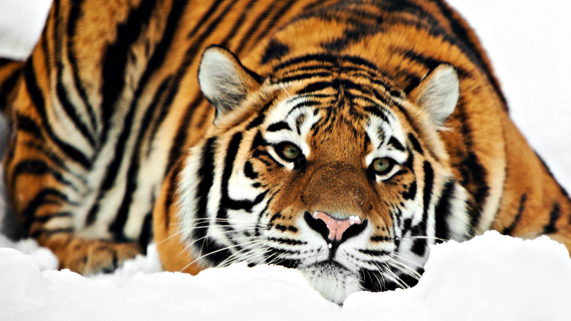 tiger photos 4873