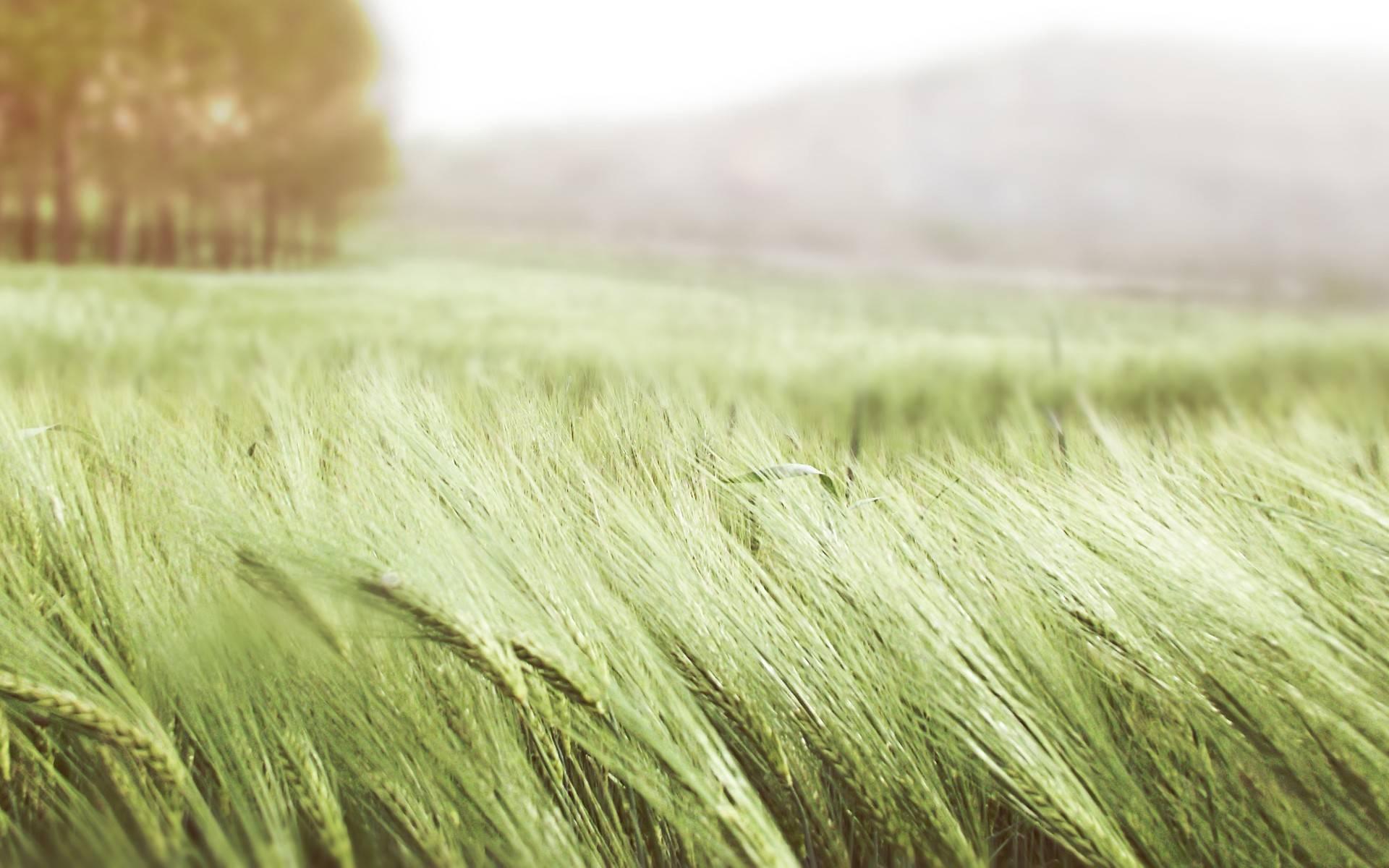 Поля пшеницы обои на рабочий стол