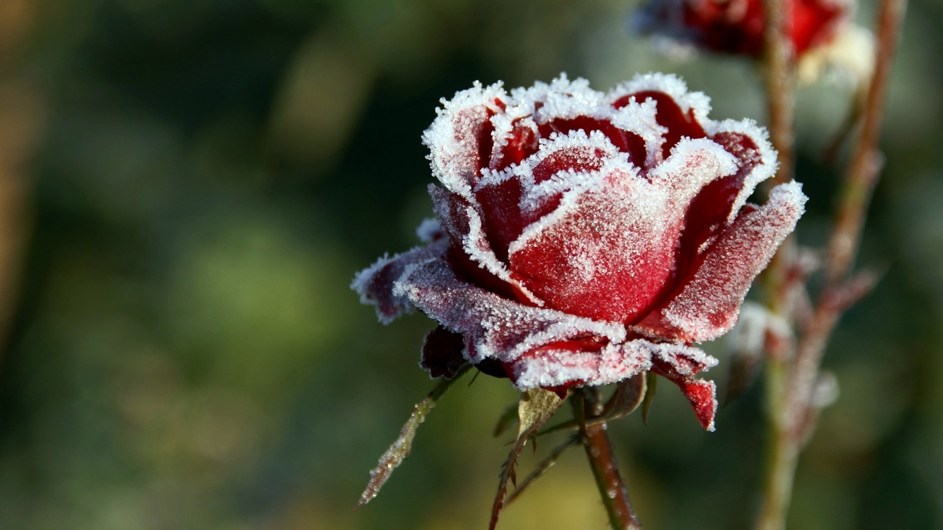 winter flower pictures 25798 1366x768px