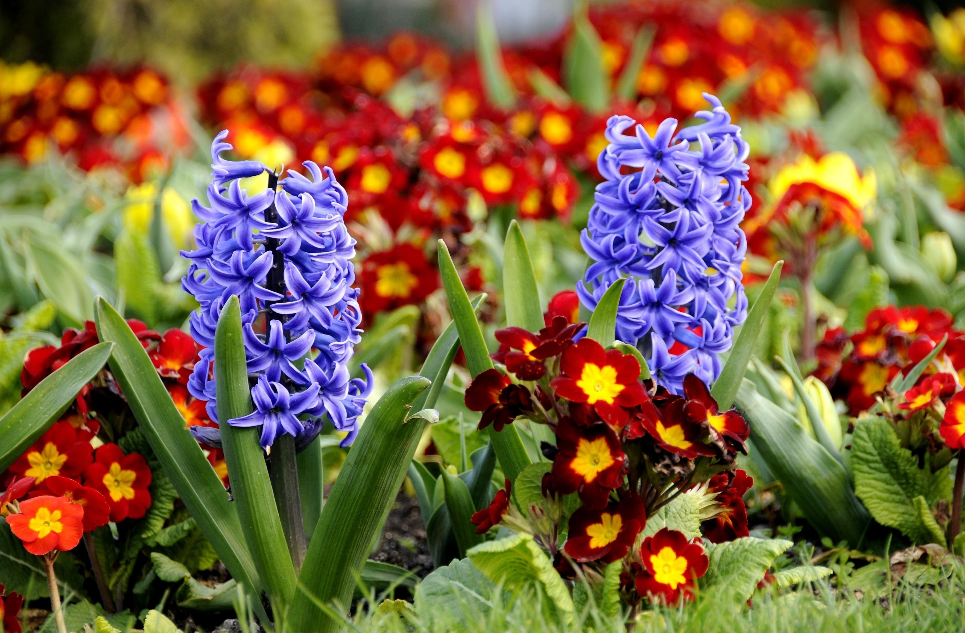 beautiful hyacinth flowers 20166