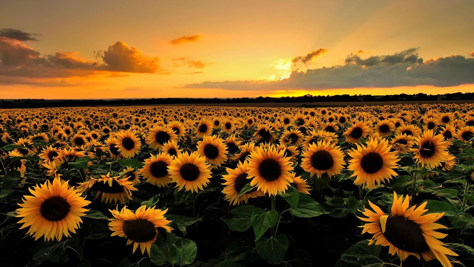 Beautiful Sunflower Field Wallpaper 32397