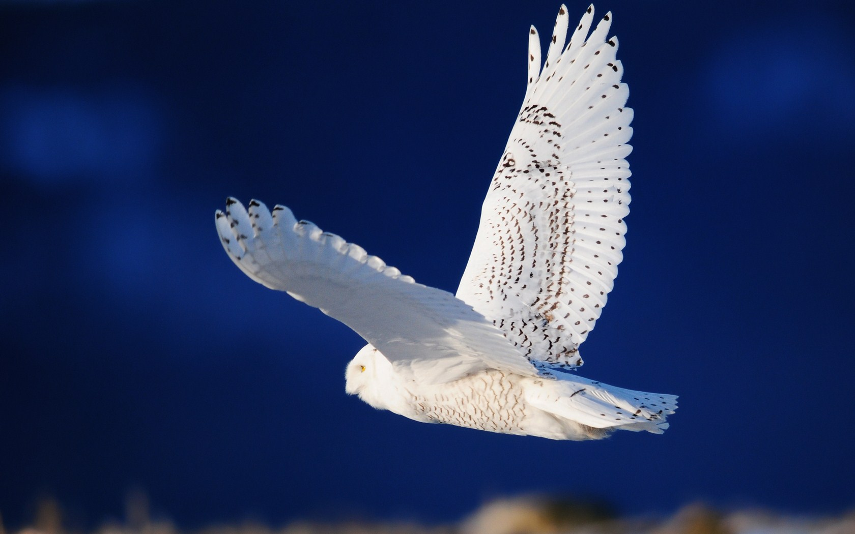 beautiful white owl 30393