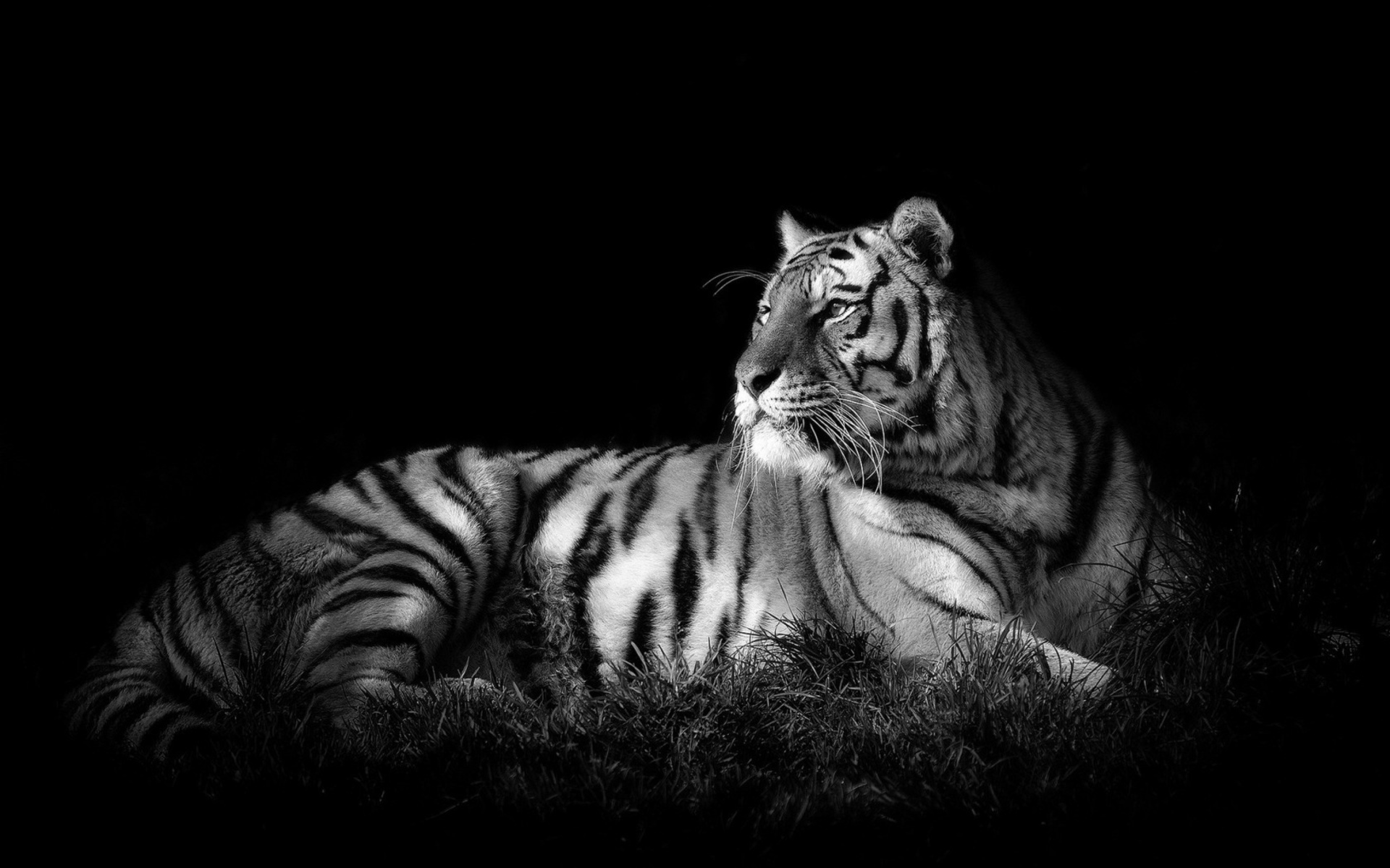 beautiful white tiger wallpaper 42064