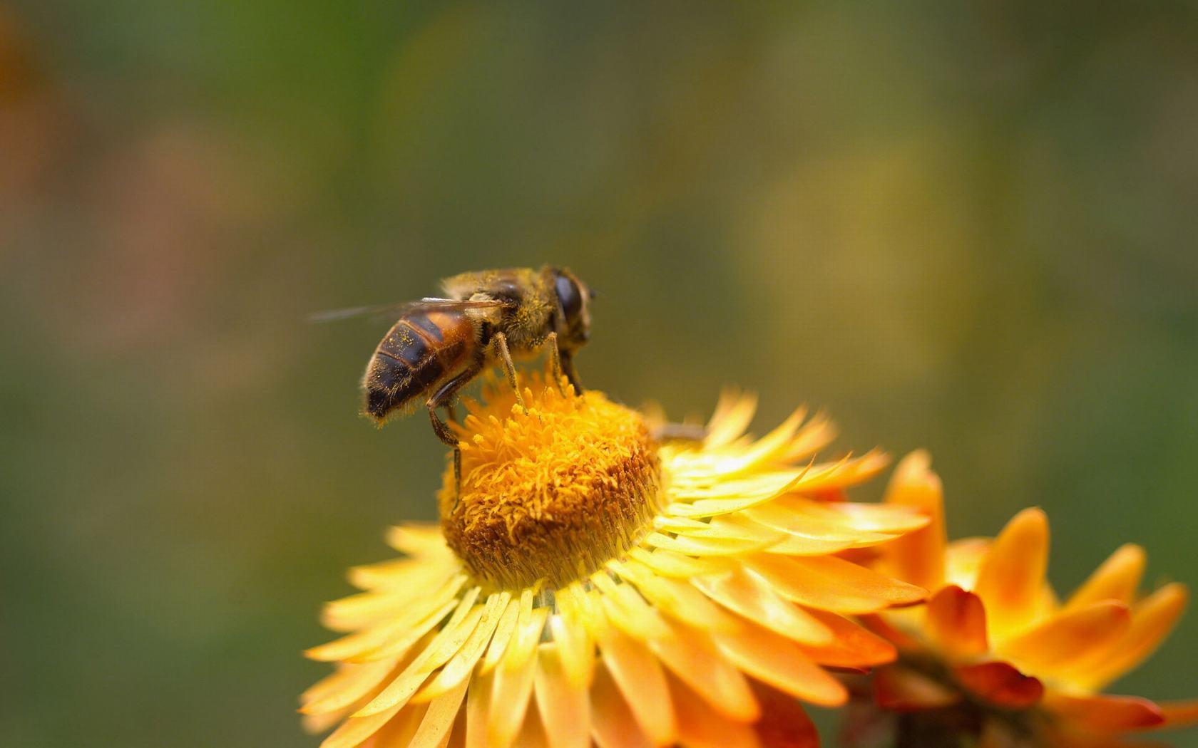 bee wallpaper 20988