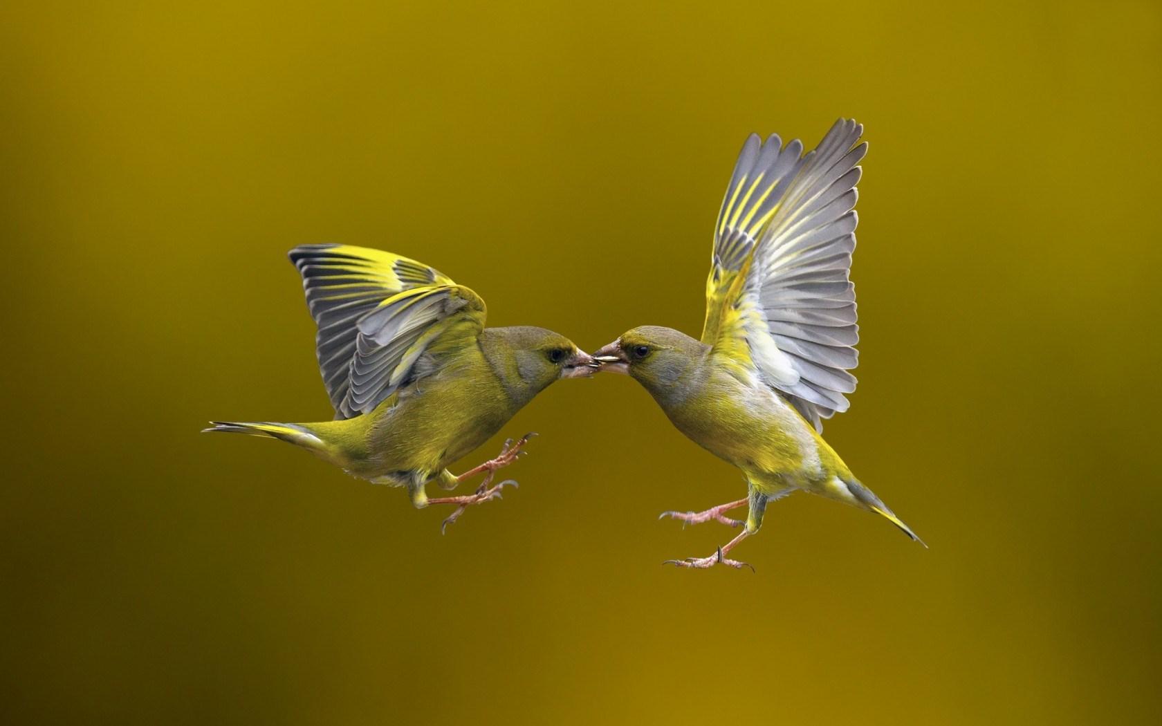 Bird Flight Wallpaper Hd 44327 1680x1050px