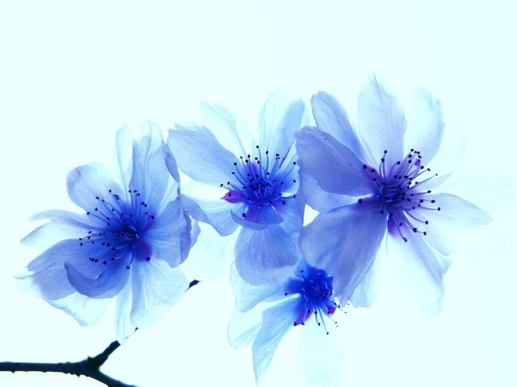 Blue flowers 14107 1024x768 px hdwallsource blue flowers 14107 izmirmasajfo Image collections