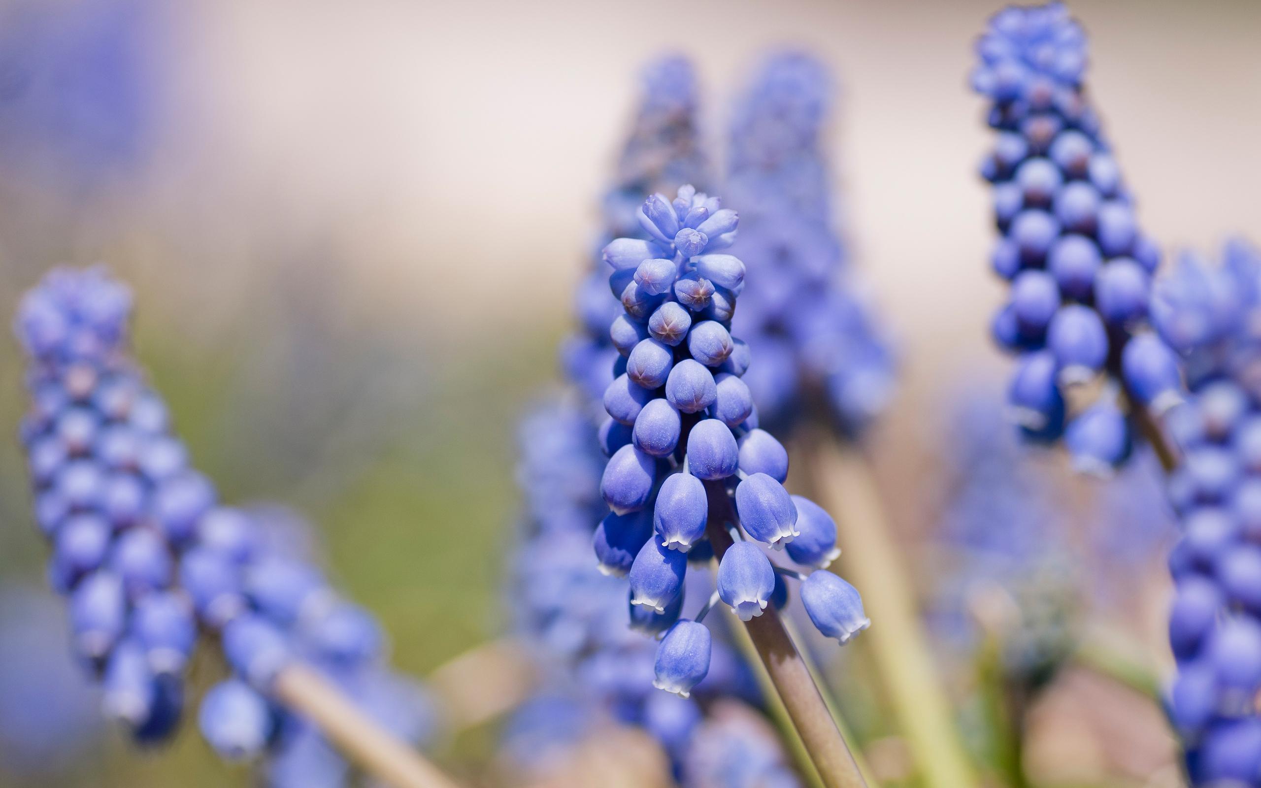 blue hyacinth 20158