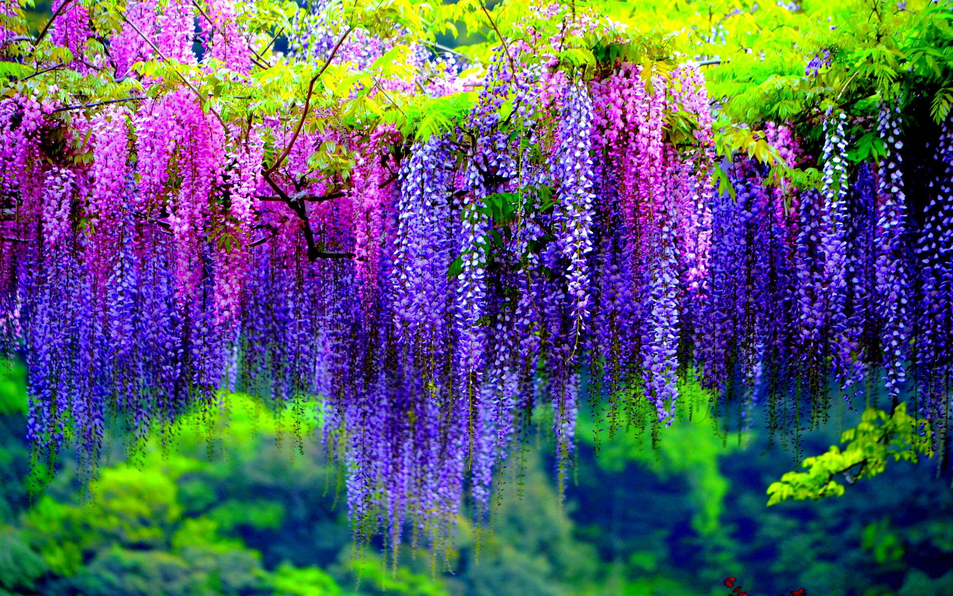 colorful wisteria wallpaper 24446