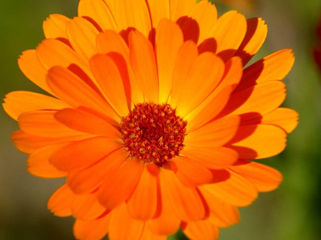 Cool Orange Flower px HDWallSource