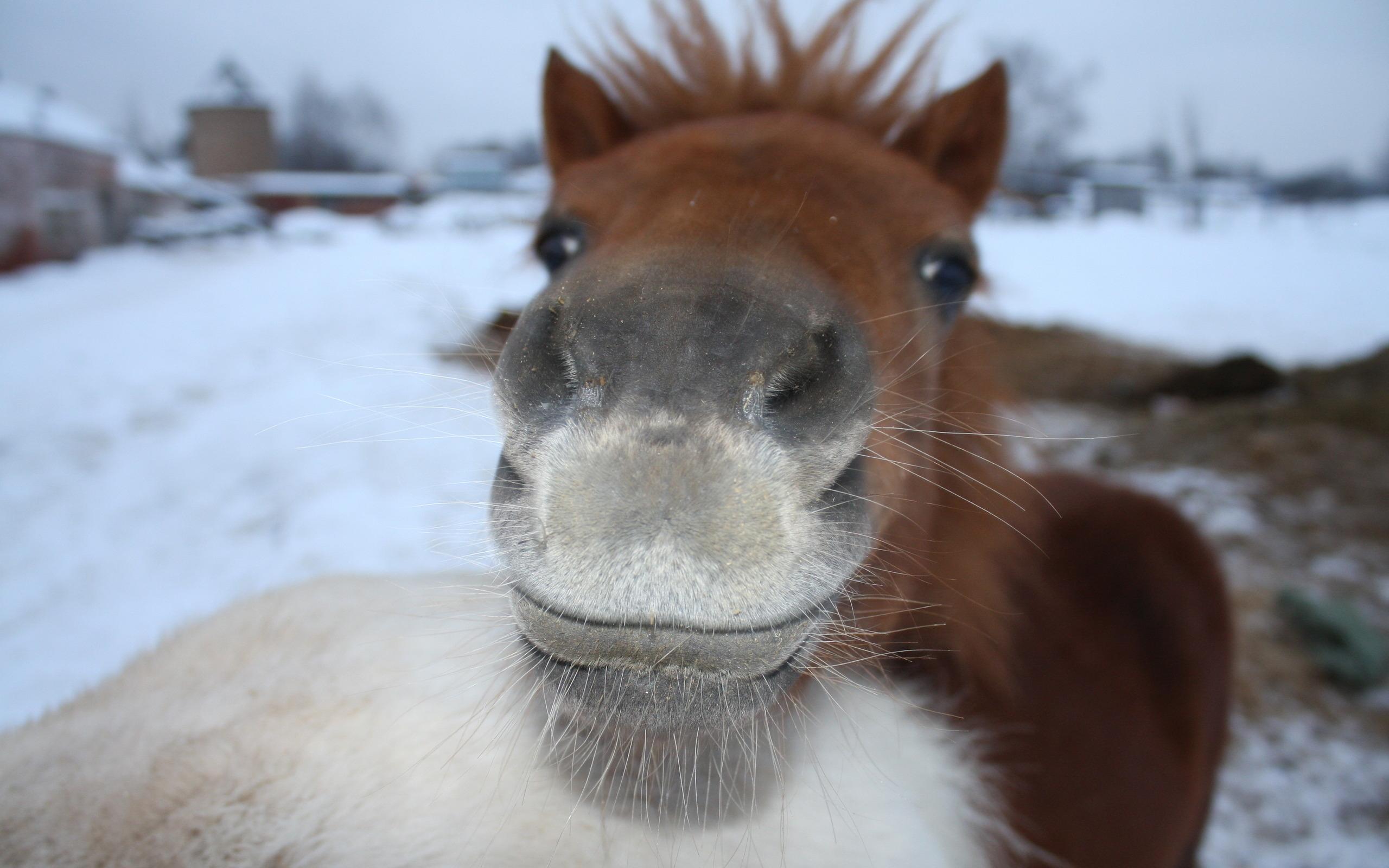 Cute Brown Horse Wallpaper 32536 2560x1600 Px