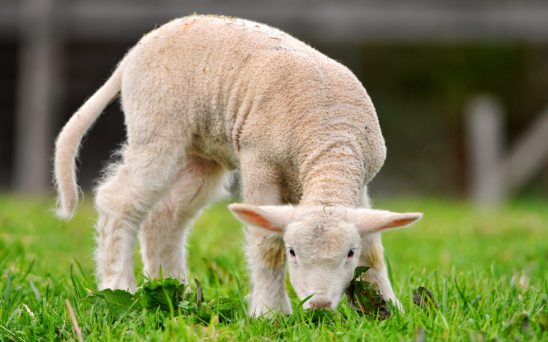 cute lamb wallpaper 42033