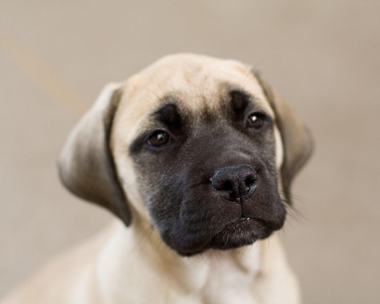 cute mastiff 28184