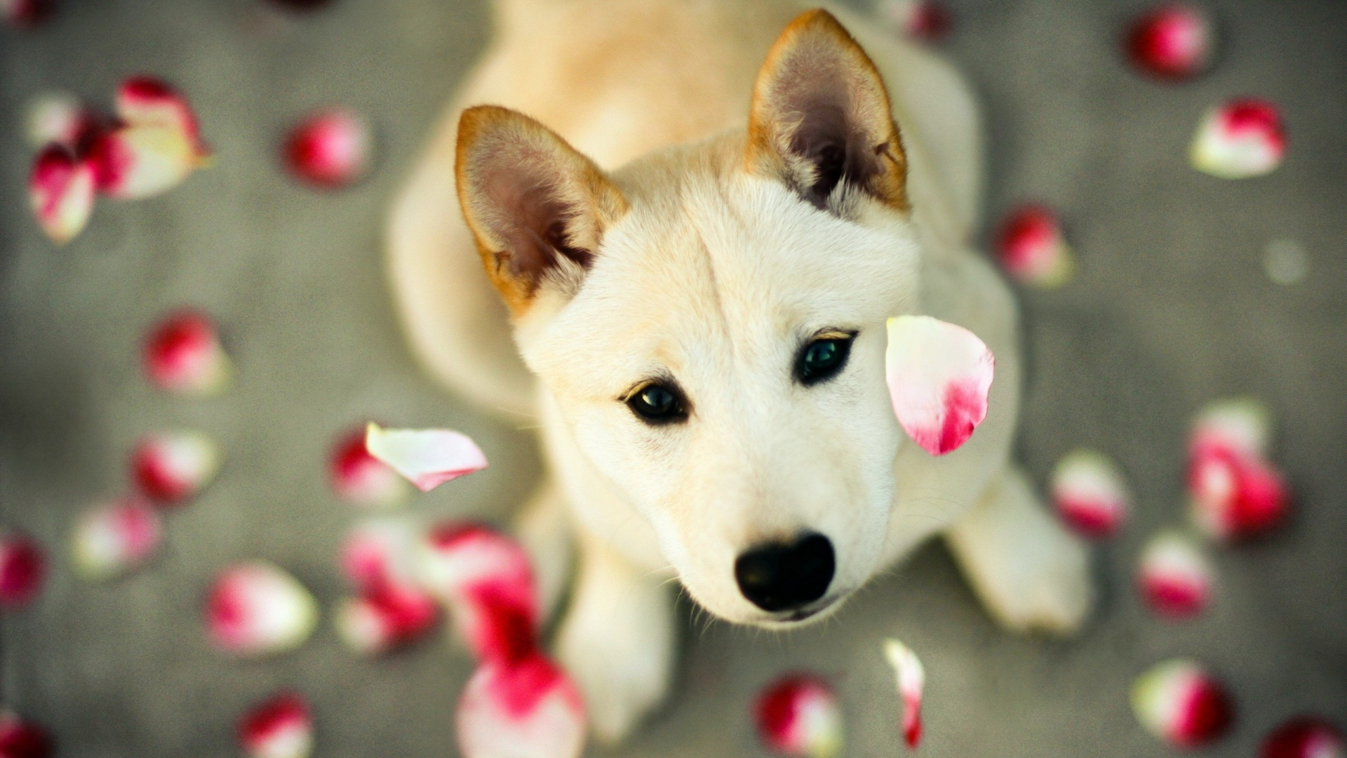Cute Puppy Wallpaper 25746 1920x1080px