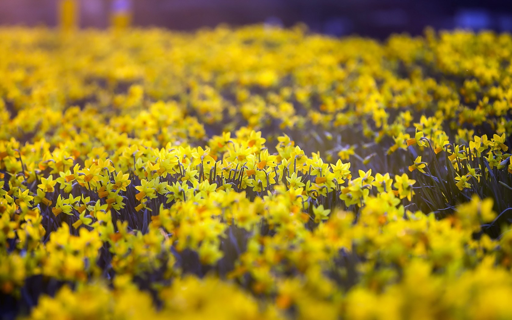 daffodils 20838