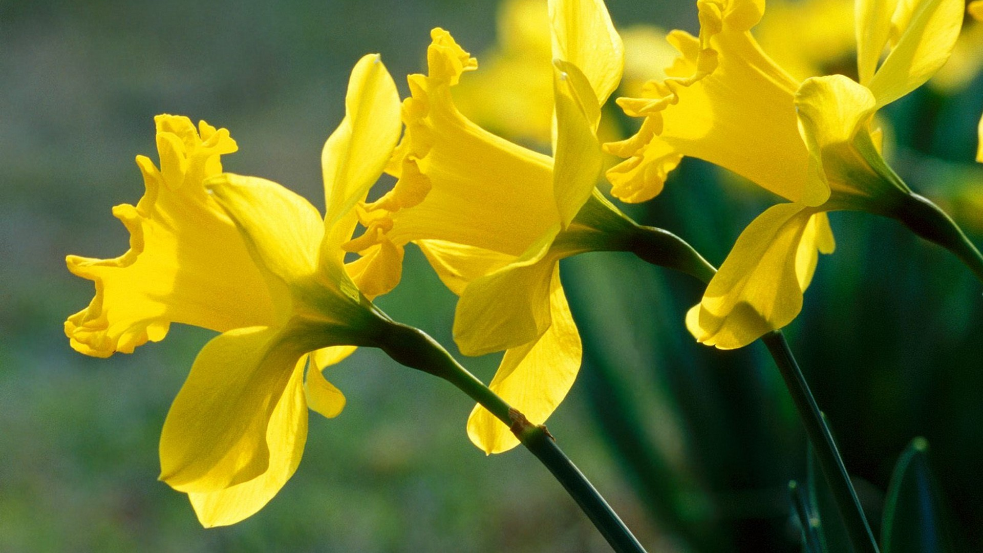 daffodils pictures 20836