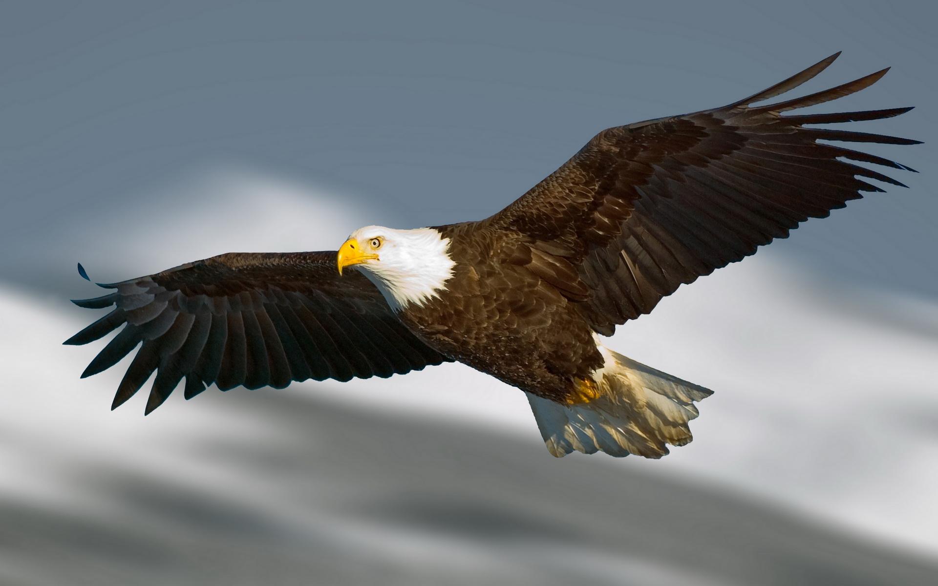 Eagle Wallpaper Px