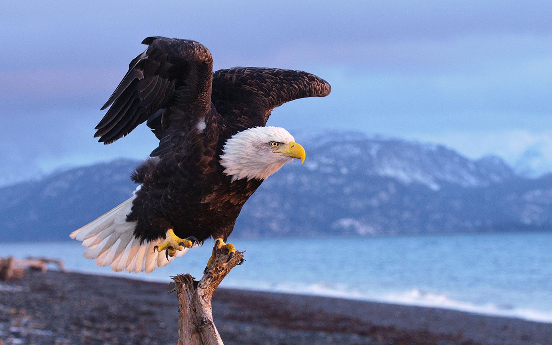 fantastic eagle wallpaper 42011
