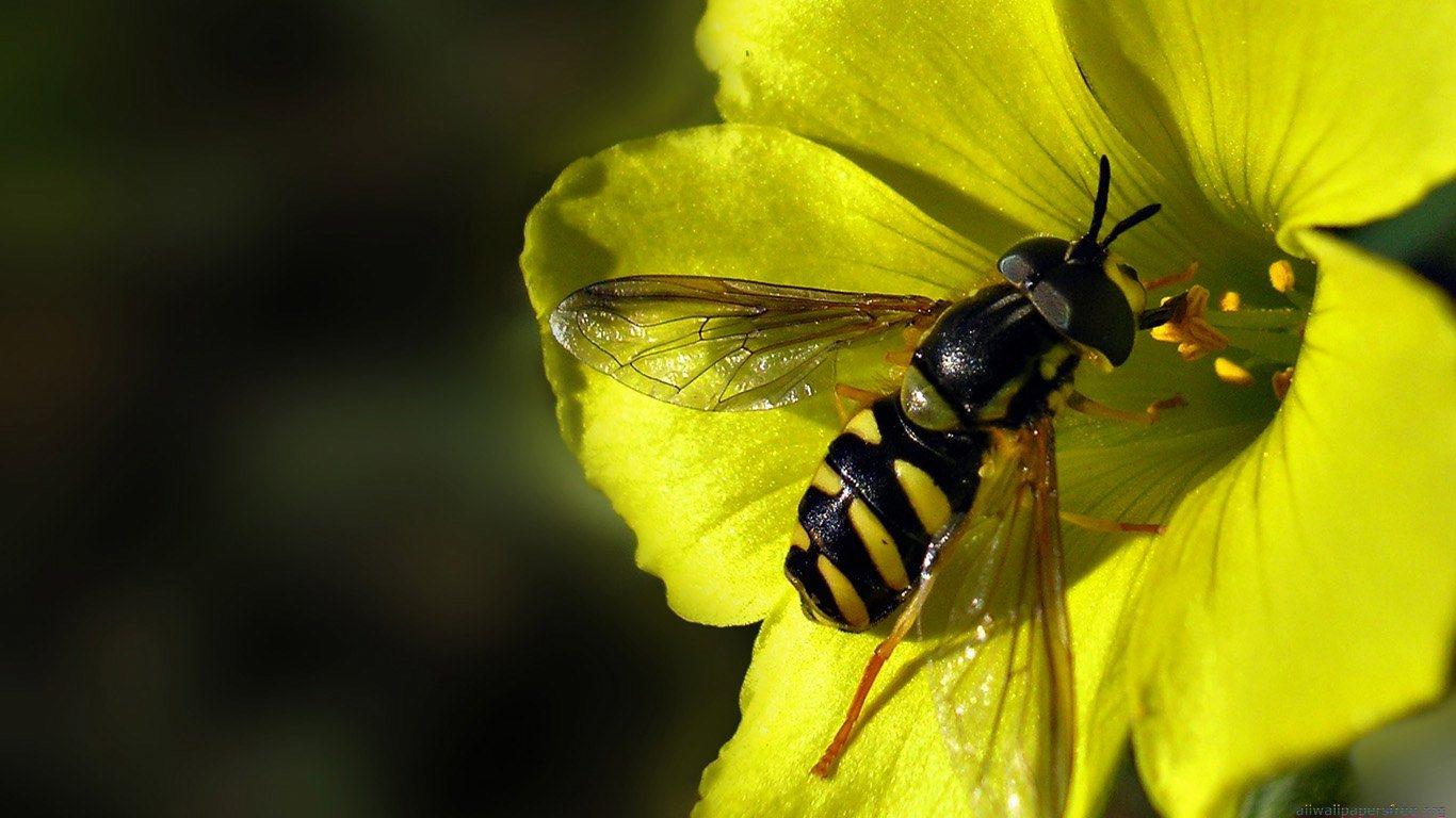 free bee wallpaper 20991