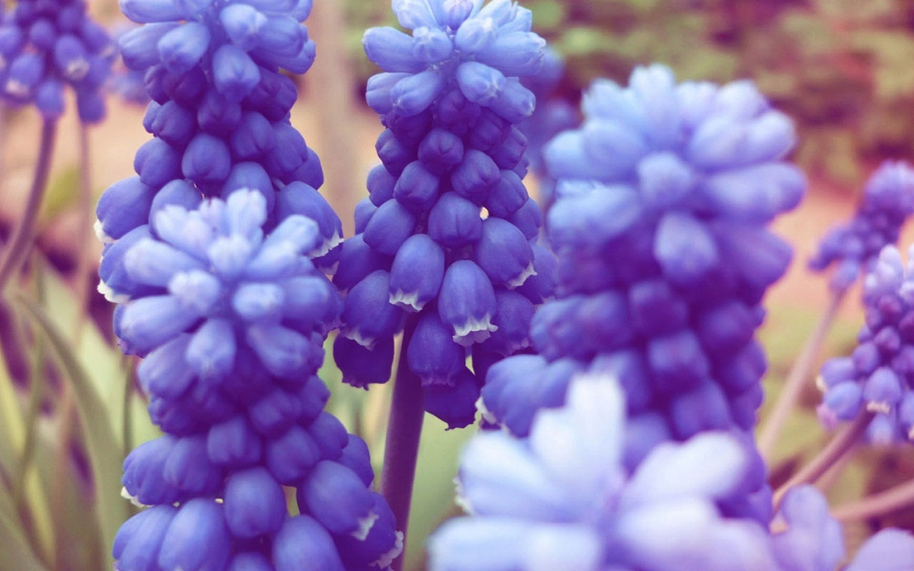 free hyacinth wallpaper 20174