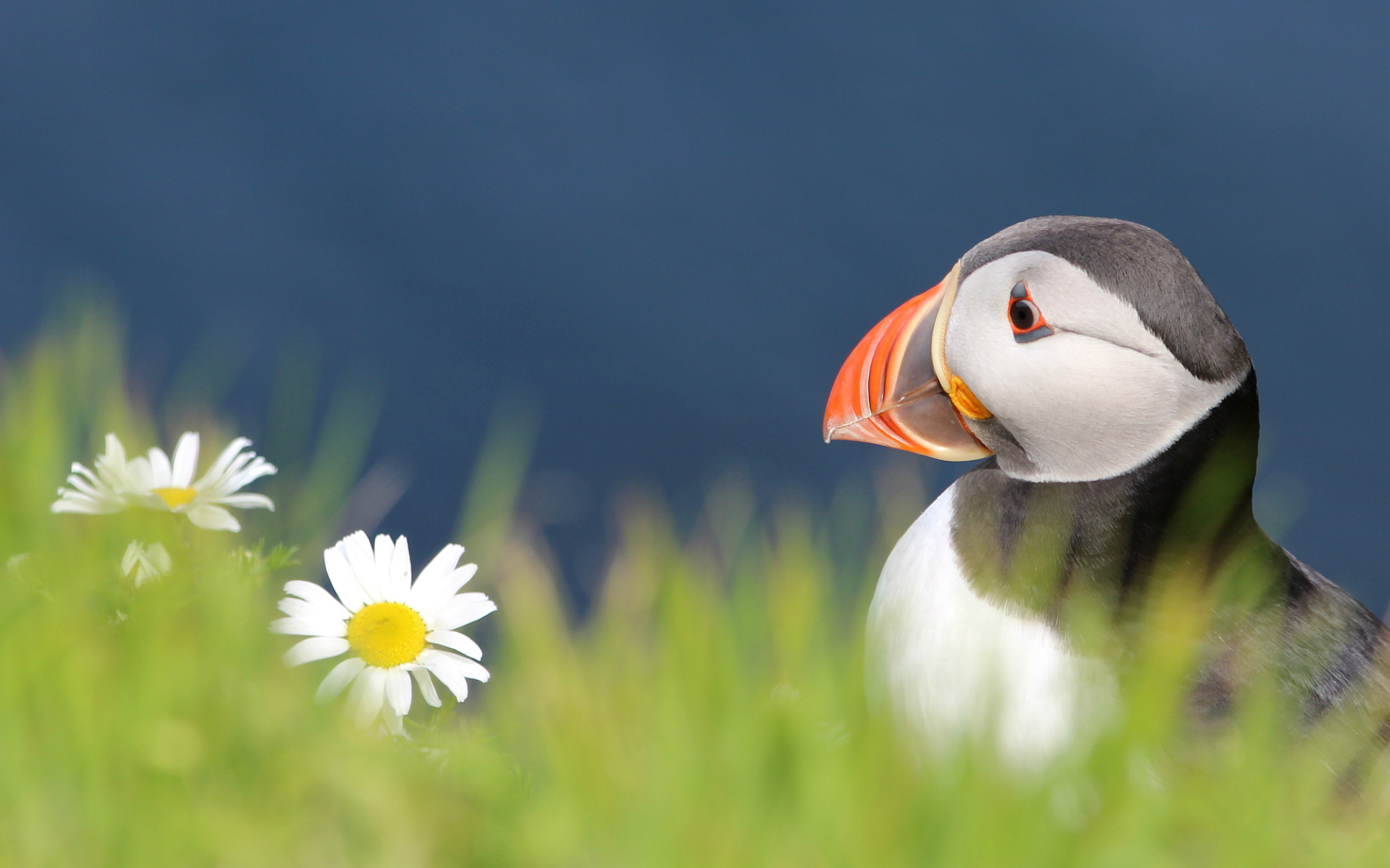 free puffin wallpaper 24800