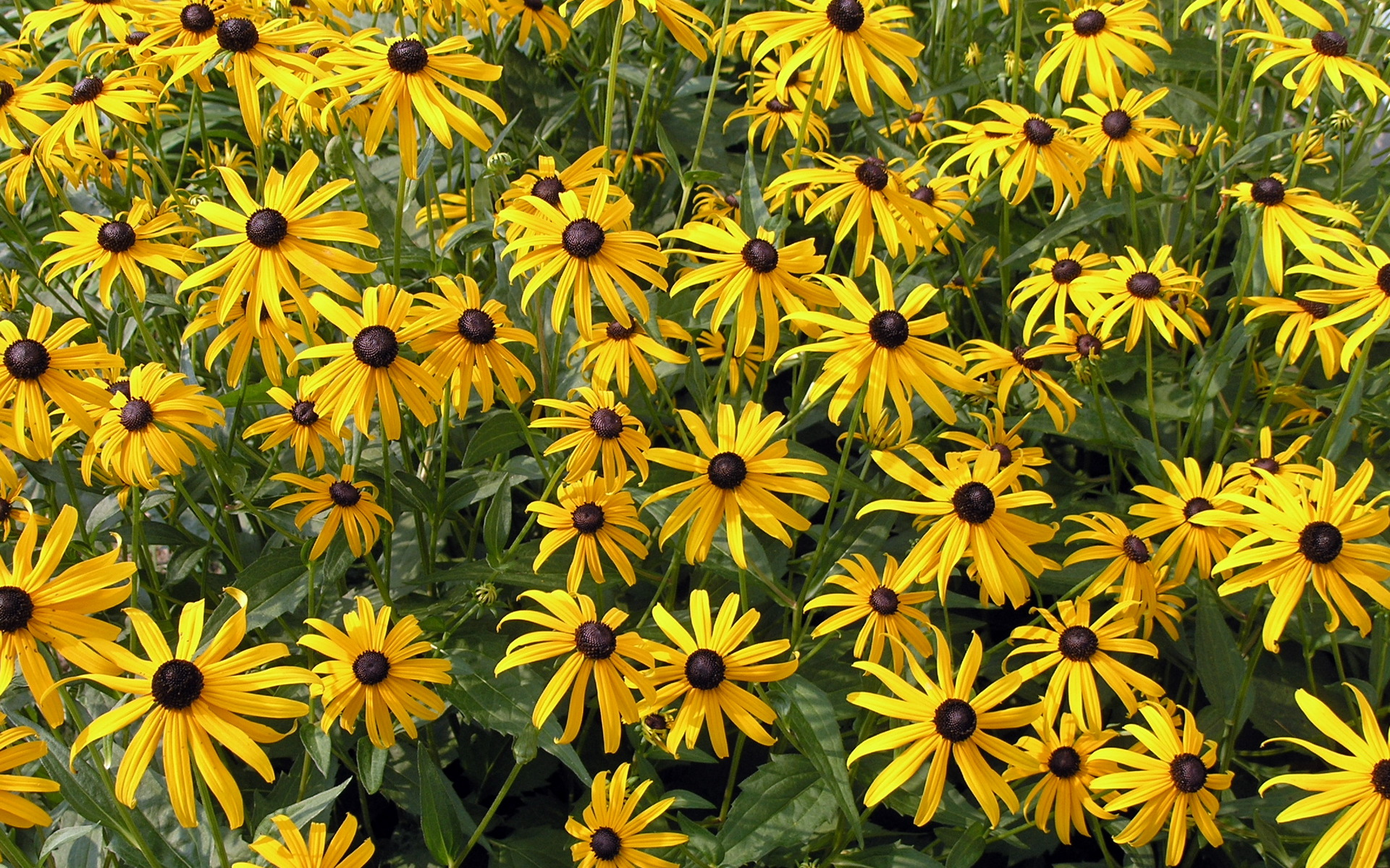 free rudbeckia flowers wallpaper 34810