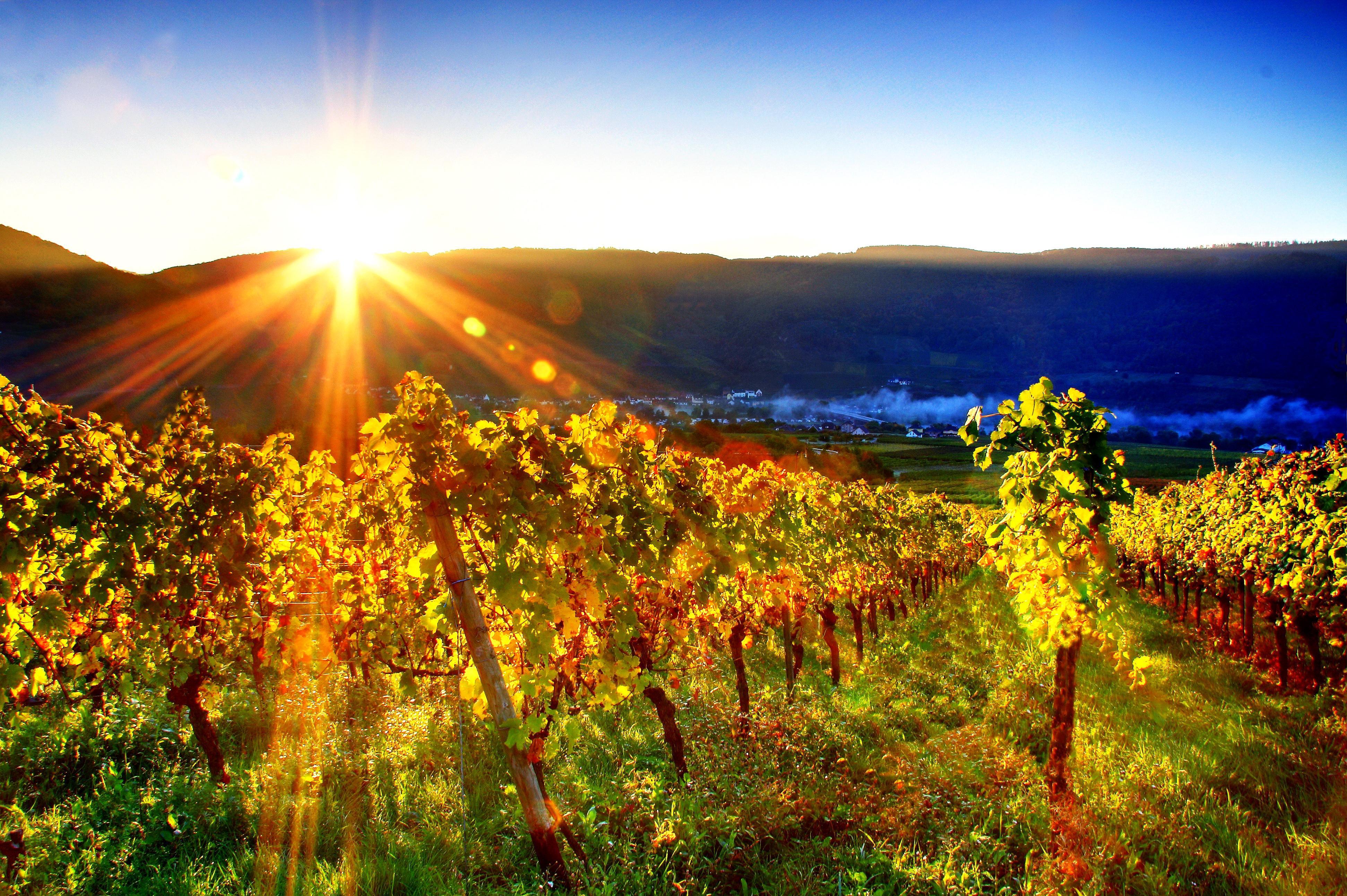 free vineyard wallpaper 26361