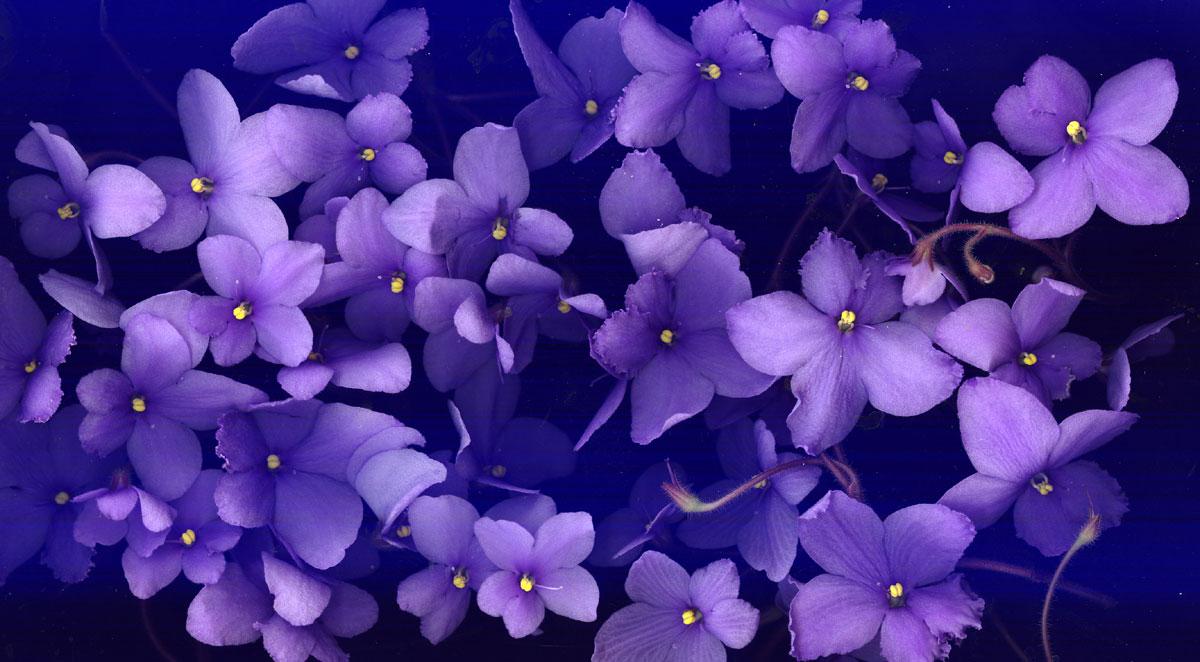 free violet wallpaper 16143