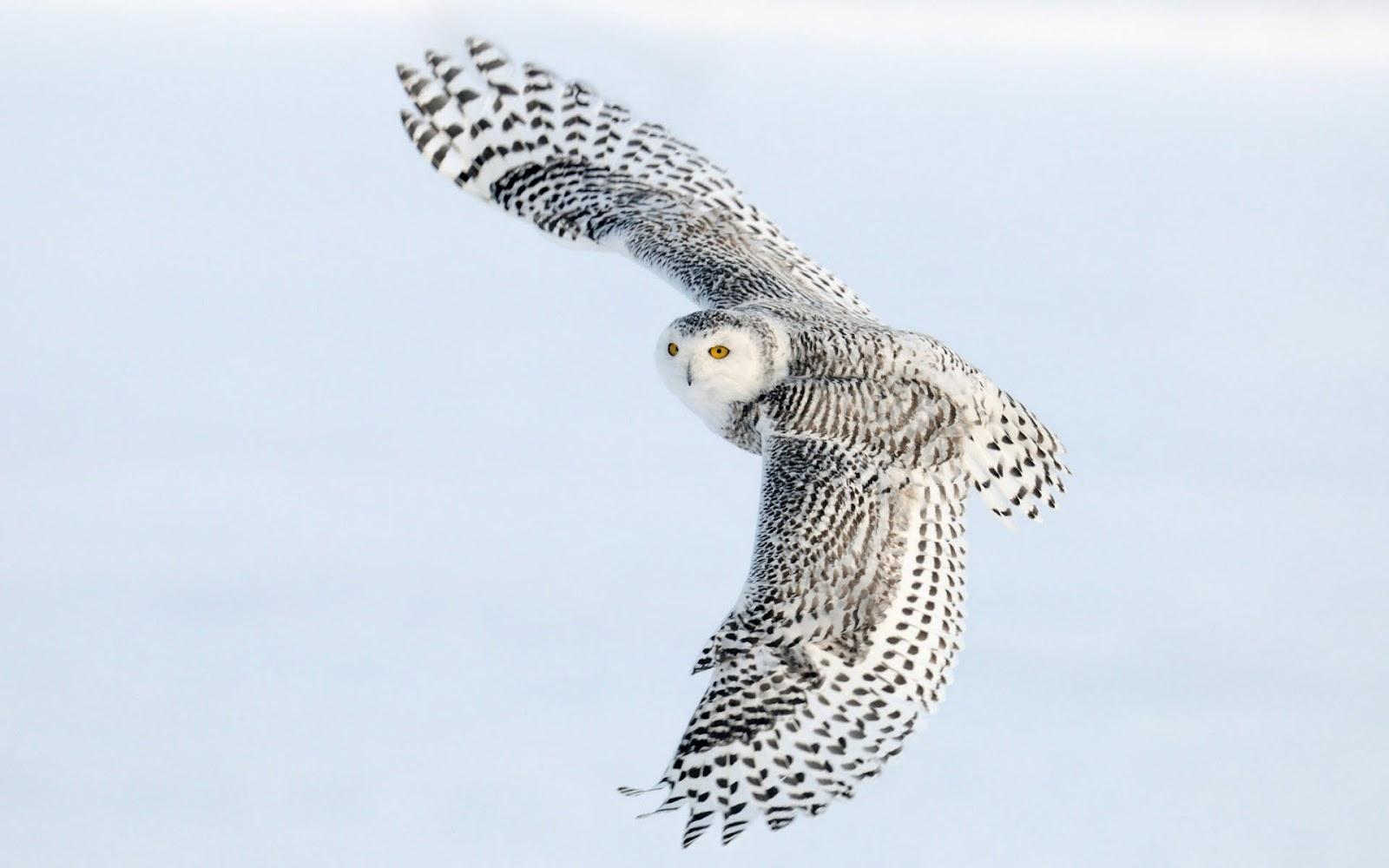 free white owl wallpaper 30383