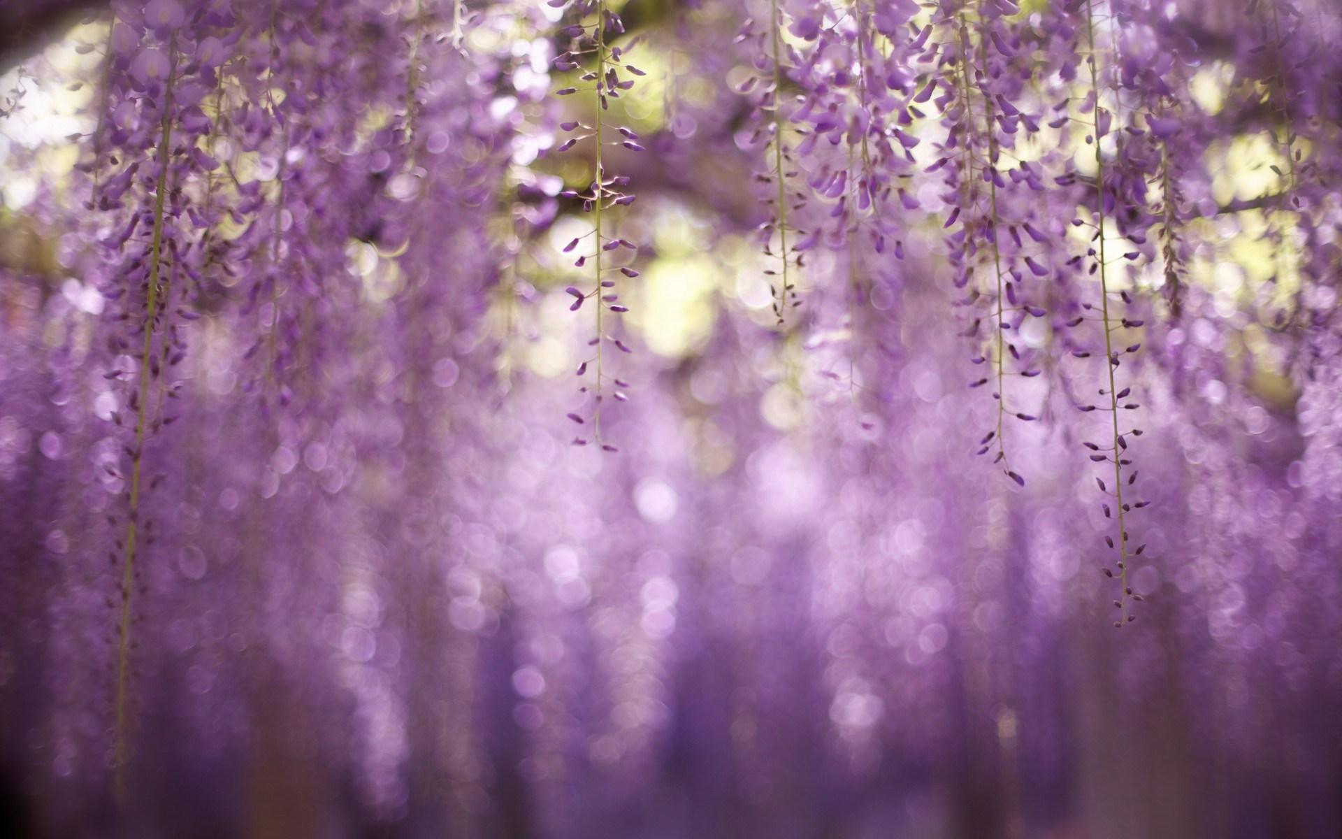 free wisteria wallpaper 24442